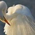 Great Egret Grooming by Patricia Twardzik