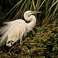 Great Egret In Breeding Plumage by Priscilla Burgers