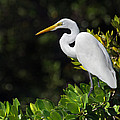 Great Egret In The Florida Everglades by Mr Bennett Kent