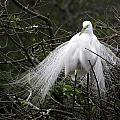 Great Egret In Tree by Fran Gallogly