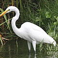 Great Egret by Ken Keener