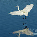 Great Egret Landing by Bob Christopher