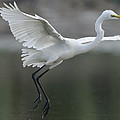 Great Egret Landing Sarawak Borneo by Ch'ien Lee