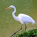 Great Egret by Laurel Talabere