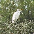 Great Egret Lookout by Ellen Meakin