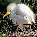 Great Egret by Millard H. Sharp