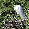 Great Egret Nest by Carol Groenen