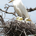 Great Egret Nest With Chicks And Mama by Carol Groenen