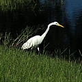 Great Egret Next To A Lake by Robert Hamm