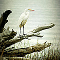 Great Egret On A Fallen Tree by Joan McCool