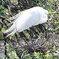 Great Egret On Nest by Carol Groenen