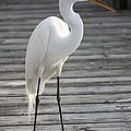 Great Egret On The Pier by Carol Groenen
