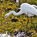 Great Egret by Perla Copernik