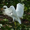 Great Egret Pose by Charleen Borchers
