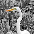 Great Egret Poster by Dan Sproul