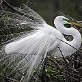 Great Egret Preening by Fran Gallogly