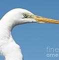 Great Egret Profile Against Blue Sky by Carol Groenen