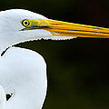 Great Egret Profile by Clint Buhler