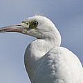 Great Egret Profile by Richard Bryce and Family