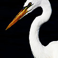 Great Egret by Ron  Tackett