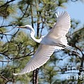Great Egret Spirit by Carol Groenen