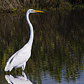 Great Egret Standing Out by John M Bailey