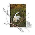 Great Egret - Stretch by Andrew McInnes