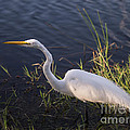 Great Egret by Tracy Knauer