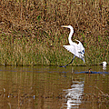 Great Egret Wing Water Reflections 3 by Roy Williams
