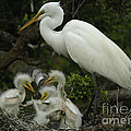 Great Egret With Young by Bob Christopher