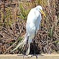 Great Egret1 by Michael Anthony