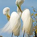 Great Egrets At Nest by Millard H Sharp