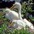 Great Egrets by Millard H. Sharp