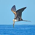 Great Frigate Bird by Chris Thaxter