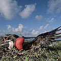 Great Frigatebird Female Eyes Courting by Tui De Roy