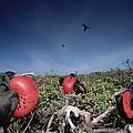Great Frigatebird Males In Courtship by Tui De Roy