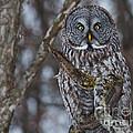 Great Gray Owl by Cheryl Baxter
