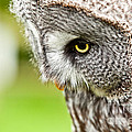 Great Gray Owl Close Up by Simon Bratt Photography LRPS