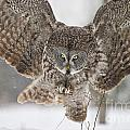 Great Gray Owl Pictures 634 by World Wildlife Photography