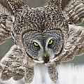 Great Gray Owl Pictures 648 by World Wildlife Photography