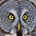 Great Gray Owl Pictures 680 by World Wildlife Photography