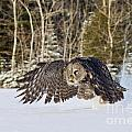 Great Gray Owl Pictures 740 by World Wildlife Photography