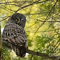 Great Gray Owl Pictures 779 by World Wildlife Photography