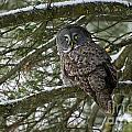 Great Gray Owl Pictures 780 by World Wildlife Photography