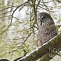 Great Gray Owl Pictures 804 by World Wildlife Photography