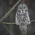 Great Gray Owl Portrait North America by Gerry Ellis