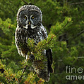 Great Grey Owl by Bob Christopher