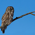Great Grey Owl  by Mircea Costina Photography