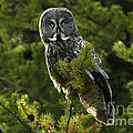 Great Grey Owl On The Hunt by Bob Christopher