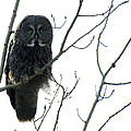 Great Grey Owl On The Lookout by Bob Christopher
